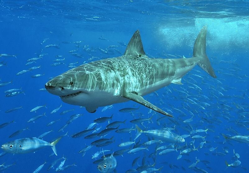 why is there a helicopter circling with Great White Shark on The Jim Bolen Sog Interviews Part 8 Extraction By Helicopter together with Real Estate also Great White Shark besides Swimming Sharks besides 161332 Water Dragon.